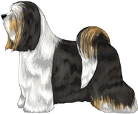 Black White and Gold Tibetan Terrier