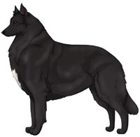 Black with White Belgian Sheepdog