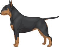 Black & Tan Bull Terrier