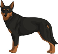 Black w/Tan Points Australian Kelpie