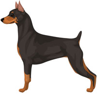 Black and Tan Miniature Pinscher