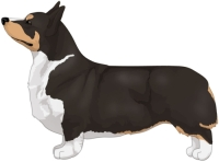 Black Headed Tricolor Pembroke Welsh Corgi