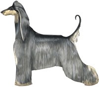 Blue & Cream Afghan Hound