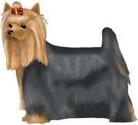 Blue and Gold Yorkshire Terrier