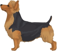 Blue and Tan Australian Terrier