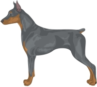 Blue and Tan German Pinscher