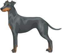 Blue & Tan Manchester Terrier