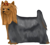 Blue and Tan Yorkshire Terrier