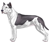 Blue and White American Staffordshire Terrier