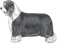 Blue and White Bearded Collie