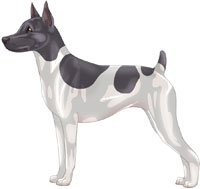 Blue & White Rat Terrier