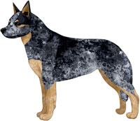 Blue Australian Cattle Dog