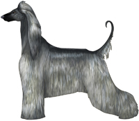 Blue with Black Mask Afghan Hound