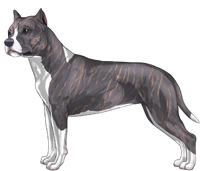 Blue Brindle & White American Staffordshire Terrier