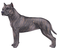 Blue Brindle American Staffordshire Terrier