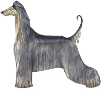 Blue Brindle Domino Afghan Hound