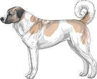 Blue Fawn and White Anatolian Shepherd