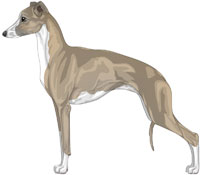 Blue Fawn and White Italian Greyhound