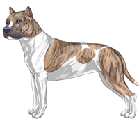 Blue Fawn Brindle & White American Staffordshire Terrier