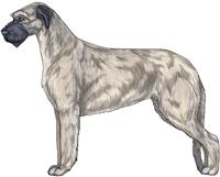 Blue Fawn Irish Wolfhound