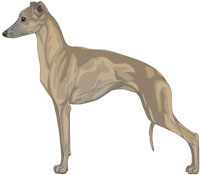 Blue Fawn Italian Greyhound