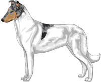 Blue Head White Smooth Collie