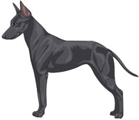Blue Manchester Toy Terrier