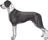 Blue mantle Great Dane