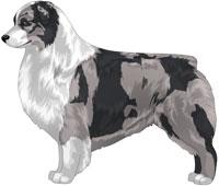 Blue Merle Bi Australian Shepherd