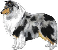Blue Merle and White Rough Collie
