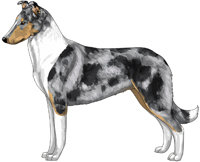 Blue Merle and White Smooth Collie
