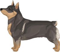 Blue Sable Swedish Vallhund
