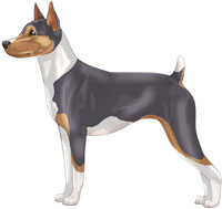 Blue Tri Rat Terrier