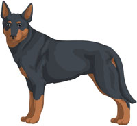 Blue w/Tan Points Australian Kelpie
