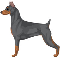 Blue and Tan Miniature Pinscher