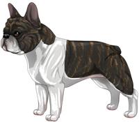 Brindle & White French Bulldog