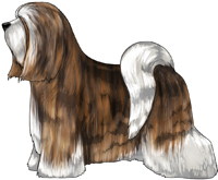 Brindle and White Tibetan Terrier
