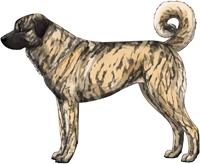 Brindle Anatolian Shepherd