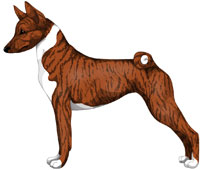 Brindle and White Basenji