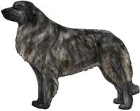 Brindle Estrela Mountain Dog