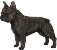 Brindle French Bulldog