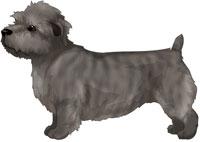 Brindle Glen of Imaal Terrier