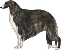 Brindle with White Irish Markings Borzoi