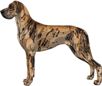 Brindle merle Great Dane