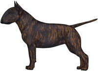 Brindle Miniature Bull Terrier
