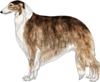 Brindled Sable with White Irish Markings Borzoi