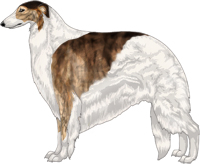Brindled Sable with White Piebald Markings Borzoi