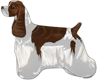 Brown and White American Cocker Spaniel