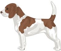 Brown & White Beagle
