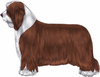 Brown and White Bearded Collie